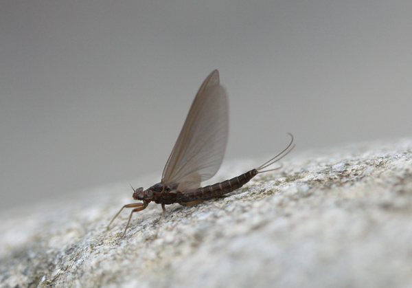 Blue Quill mayfly
