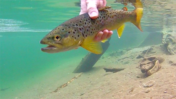 Brown Trout In Hand Under Water