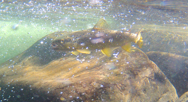 Brown trout swimming in bubbles